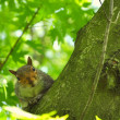 A squirrel looks at the camera — Stock Photo #25269215