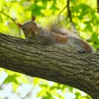 A squirrel looks at the camera — Stock Photo #25270357