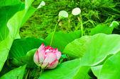 Bir lotus çiçeği — Stok fotoğraf