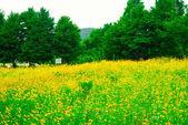 Flower filed in Paju city, Korea — Stock Photo