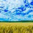 Stock Photo: Wheat farm in sunny day in Kansas