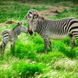 Stock Photo: Hartmann mountain zebras