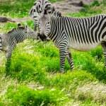Hartmann mountain zebras — Stock Photo