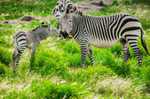 Hartmann mountain zebras — Stock Photo