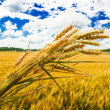 A wheat farm — Stock Photo #27445675