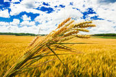 A wheat farm — Stock Photo
