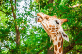 Une jolie girafe — Photo