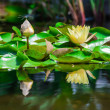 Yellow water lilies reflects in the pond — Stock Photo