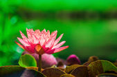 Fire water lily reflects in the pond — Stock Photo