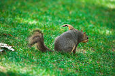 A squirrel is scratching on the grass — Stock Photo