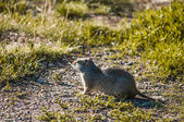 An Uinta Ground Squirrel in sunset, Grand Teton National Park, Wyoming. — Stock Photo