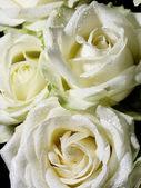 Roses white — Stock Photo