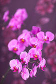 Pink streaked orchid flower — Stock Photo