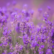 Purple lavander flowers — Stock Photo