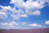 Blue sky over lavender field — Stock Photo