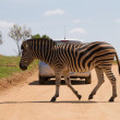 Zebra  National Park Africa - Stock Photo