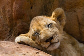 Portrait of a sleeping tiger — Stock Photo