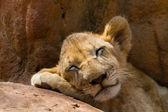 Porträt der schlafende tiger — Stockfoto