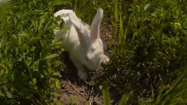 Rabbit runs across the field and eating grass — Stock Video