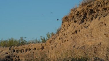 The nests of swallows in a sand quarry — Stock Video