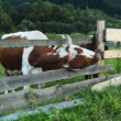 Stock Video: Cows graze in mountains Carpathians