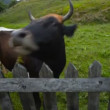 Stock Video: Cow graze in mountains Carpathians