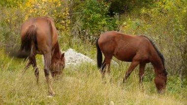 Vilda hästar betar i bergen — Stockvideo