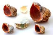 Shells with pearl and Rapana isolated on white — Stock Photo