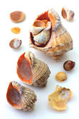 Shells and Rapana isolated — Stock Photo