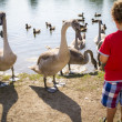 Boy at lake with swan — Stock Photo #30830099