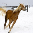 Horse racing in the snow — Stok fotoğraf