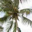 Stock Photo: One unknown young Africmclimbs up coconut palm and collecting fruit
