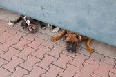 两个警卫犬下门的拳击手 — 图库照片