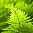 Fern detail — Stock Photo