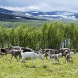 Stock Photo: Reindeers on meadow near forest and lake in Scandinavia