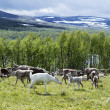 Reindeers on the meadow  near a forest and lake in Scandinavia — Stok fotoğraf
