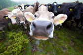 Curious clouse up Cows group only a nose is sharp — Stock Photo