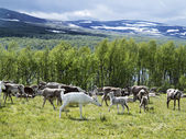 Reindeers on the meadow near a forest and lake in Scandinavia — Stock Photo