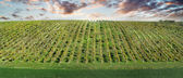Green wineyard up the hill with dramatic sky — Stock Photo