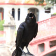 Crow — Stock Photo #22864938