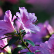 Azalea, flowers, botany, botanical garden, — Stock Photo