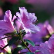 Stock Photo: Azalea, flowers, botany, botanical garden,