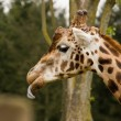 Stock Photo: Side profile of giraffe