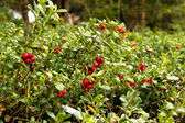 Lingonberries aka Cowberries on forest floor — Stock Photo