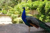 Strolling peacock. Alhambra — Stock Photo