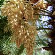 Flowering palm — Stock Photo