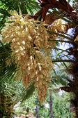 Flowering palm — Stock Photo