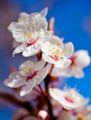 Cherry blossom in spring — Stock Photo