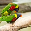 Rainbow Lorikeets having fun — Stock Photo