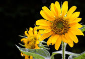 Sunflower on black background — Stock Photo